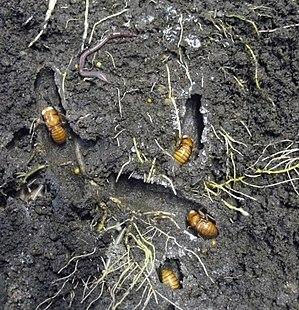 Amphipsalta zelandica - Final instar chorus cicada nymphs in soil