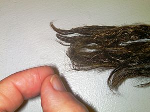 Sea silk - Photo showing extreme fineness of the byssus thread