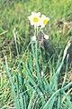 Fiore di Narcissus sp.jpg