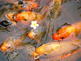 Fish in Pond - The Citadel - Hue - Vietnam.JPG