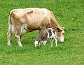 Fleckvieh-Mutterkuh mit Kalb 11.JPG