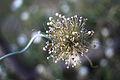 Fleur, jardin Compans Caffarelli.JPG