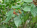 Flickr - João de Deus Medeiros - Psychotria carthagenensis.jpg