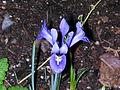 Flickr - brewbooks - Iris - Our Front Garden, 2003.jpg