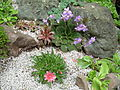 Flickr - brewbooks - Our little rock garden - Ramonda and Lewisia.jpg