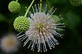 Flickr - ggallice - Buttonbush.jpg