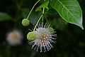 Flickr - ggallice - Buttonbush (1).jpg