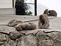 Flock of Japanese macaques near Miyajima Ropeway Shishi-iwa station.jpg