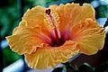 Flor Hibiscus.jpg
