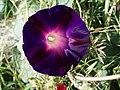 Flor Púrpura. - panoramio.jpg