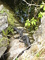 Florida Alligator babies 2010.JPG