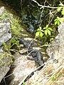 Florida Alligator babies 2010.JPG