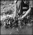 Florin, California. Picking strawberries in irrigated field a few days prior to evacuation from thi . . . - NARA - 537857.jpg