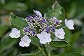 """Flower, Hydrangea """"Fukurin-Gaku-Ajisai"""" - Flickr - nekonomania.jpg"""