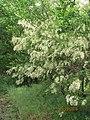 Flower Blk Locust 2016-05-28 016.jpg