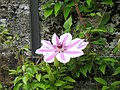 Flower In Blarney Gardens (70671025).jpeg