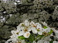 Flowering-pear-tree-macro - West Virginia - ForestWander.jpg