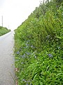 Flowers and ferns flourish on this typical Cornish roadside bank - geograph.org.uk - 1311084.jpg