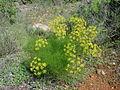 Foeniculum vulgare.JPG