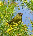 Forest Canary (Crithagra scotops) (32847180801).jpg