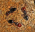 Formicidae - Crematogaster scutellaris.JPG