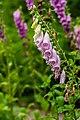 Foxglove Digitalis purpurea macrophoto.jpg