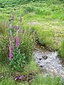 Foxgloves beside the stream, Dartmoor - geograph.org.uk - 1379462.jpg