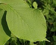 Fragrant Snowbell Styrax obassia Leaf 2500px.jpg