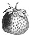 Fraise Duc de Malakoff Vilmorin-Andrieux 1883.png
