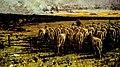 Francesco Filippini, Ritorno al Pascolo - Pecore tosate - Tramonto, 1885, olio su tela, 80 x 130 cm, Museo Ricci Oddi (Piacenza), inv.n. 115.jpg