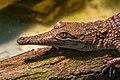 Frankfurt Zoo - Australian Freshwater Crocodile 1.jpg