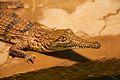 Frankfurt Zoo - Australian Freshwater Crocodile 5.jpg