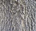 Fraxinus angustifolia (7).JPG