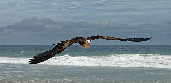 Great Frigatebird at Fernando de Noronha (Brazil)