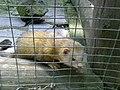 Frettchen im Wildpark - panoramio.jpg