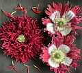 Fringed poppy (13474610155).jpg