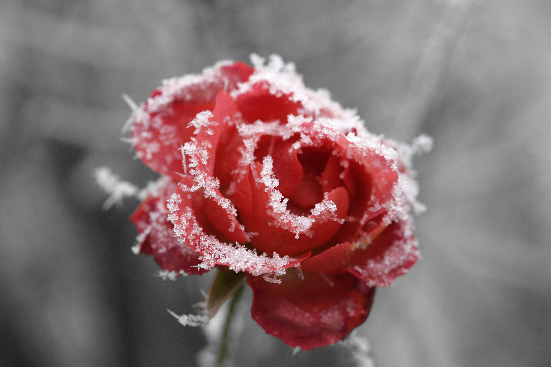Frosted rose 01.jpg