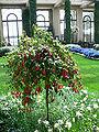 Fuchsia X Hybrida2.jpg