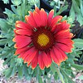Gaillardia-arizona-red-shades-3700.jpg
