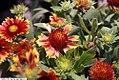 Gaillardia x grandiflora Fanfare 2zz.jpg