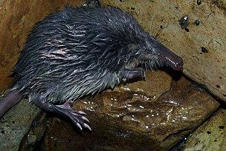 Néouvielle National Nature Reserve - Image: Galemys pyrenaicus 01 by dpc