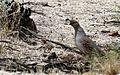 Gambel's quail - Flickr - GregTheBusker (1).jpg