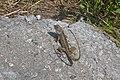 Garden Lizard Ponmudi Hills.jpg