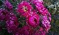 Garden chrysanthemum.jpg