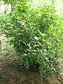 Gardenia thunbergia1c.JPG