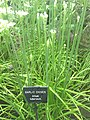 Garlic Chives Allium tuberosum in Hardwick Hall garden 2012.jpg