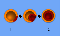 1 - blastula, 2 - gastrula with blastopore; orange - ectoderm, red - endoderm.