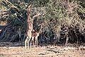 Gazelle gerenuk.jpg
