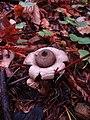 Geastrum saccatum 12949115.jpg