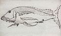 Gelderland1601-1603 Triglidae.jpg